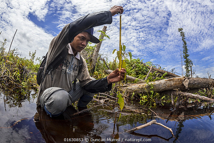 One of the local field staff of the Borneo Nature Foundation monitoring tree seedlings planted in the Sabangau (peat-swamp) Forest, Central Kalimantan, after the devastating Indonesian forest fires in 2015.  ,  People,Asia,South East Asia,Indonesia,Plant,Sapling,Saplings,Wetland,Swamp,Conservation,Borneo island,Borneo,Biodiversity hotspot,Kalimantan,Central Kalimantan,Habitat management,  ,  Duncan Murrell