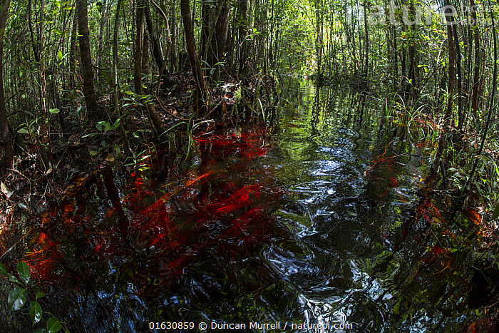Tannin stained water in an artificial canal in the Sabangau (peat-swamp) Forest, Central Kalimantan, Indonesia.  ,  Asia,South East Asia,Indonesia,Oceania,Melanesia,New Guinea,Wetland,Swamp,Conservation,Borneo island,Borneo,Biodiversity hotspot,Kalimantan,Central Kalimantan,Habitat management,  ,  Duncan Murrell