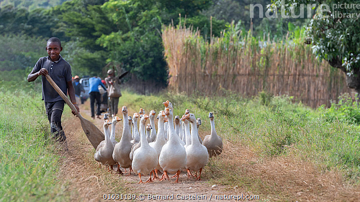 Young boy herding geese, Lake Alaotra, Madagascar. May 2019.  ,  People,Africa,Madagascar,Malagasy Republic,Republic of Madagascar,Animal,Domestic animal,Biodiversity hotspots,Biodiversity hotspot,Poultry,Domesticated,Domestic Goose,Local people,  ,  Bernard Castelein