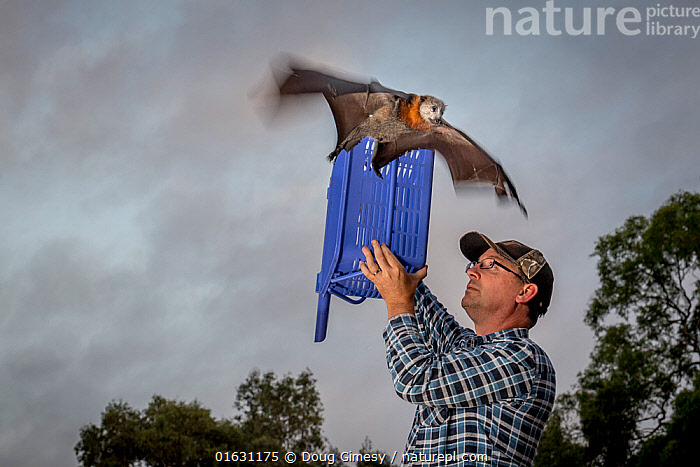 Grey-headed flying-fox (Pteropus poliocephalus) released back into his Melbourne colony by wildlife carer Francois Malherbe. The bat was rescued several months earlier, found hanging low in a fruit tree, assumed to be suffering from heat stress as it was a 38 C day, and no other injuries were apparent. Yarra Bend Park, Kew, Victoria, Australia. March 2018. Model released. Editorial use only., Animal,Wildlife,Vertebrate,Mammal,Bat,Mega bat,Flying fox,Grey headed flying fox,Animalia,Animal,Wildlife,Vertebrate,Mammalia,Mammal,Chiroptera,Bat,Pteropodidae,Mega bat,Megabat,Megachiroptera,Pteropus,Flying fox,Pteropus poliocephalus,Grey headed flying fox,Releasing,People,Man,Australasia,Australia,Victoria,Conservation,Animal rehabilitation,Rehabilitation,Wildlife conservation,Endangered species,threatened,Vulnerable, Doug Gimesy