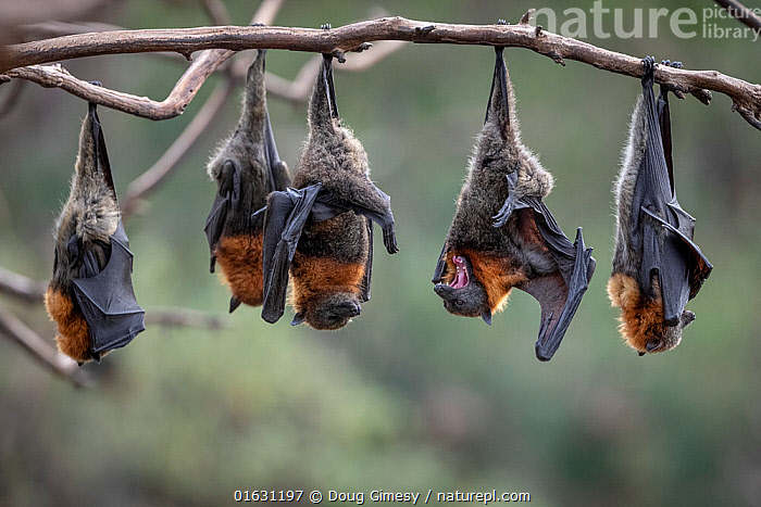 Grey-headed Flying-foxes (Pteropus poliocephalus) at a colony hang together on a branch over the Yarra River, Melbourne. These bats form part of a colony that was established here in early 2000's when the colony was moved from Melbourne's Royal Botanical Gardens. In summer, colony numbers can swell to over 40,000 from a population of around 5,000 over winter. Yarra Bend Park, Kew, Victoria, Australia. April, 2019. Cropped., Animal,Wildlife,Vertebrate,Mammal,Bat,Mega bat,Flying fox,Grey headed flying fox,Animalia,Animal,Wildlife,Vertebrate,Mammalia,Mammal,Chiroptera,Bat,Pteropodidae,Mega bat,Megabat,Megachiroptera,Pteropus,Flying fox,Pteropus poliocephalus,Grey headed flying fox,Hanging,Roosting,Roost,Group Of Animals,Animal Colony,Group,Australasia,Australia,Victoria,Endangered species,threatened,Vulnerable, Doug Gimesy