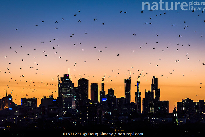 Grey-headed flying-foxes (Pteropus poliocephalus) fly out over Melbourne city skyline looking for food during a summer sunset. Kew, Victoria, Australia. March 2017., Animal,Wildlife,Vertebrate,Mammal,Bat,Mega bat,Flying fox,Grey headed flying fox,Animalia,Animal,Wildlife,Vertebrate,Mammalia,Mammal,Chiroptera,Bat,Pteropodidae,Mega bat,Megabat,Megachiroptera,Pteropus,Flying fox,Pteropus poliocephalus,Grey headed flying fox,Flying,Group,Australasia,Australia,Victoria,Back Lit,Skyline,Skylines,Silhouette,Endangered species,threatened,Vulnerable, Doug Gimesy