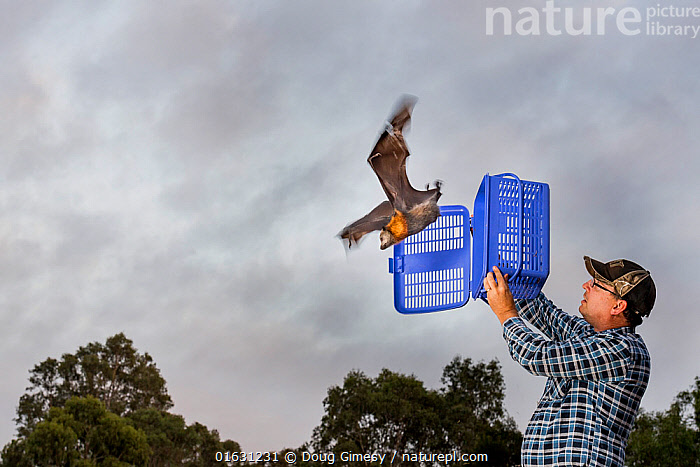 Rescued Grey-headed flying-foxes (Pteropus poliocephalus) is released back into his Melbourne colony by wildlife carer Francois Malherbe. The bat was rescued several months earlier as a result of entanglement in inappropriate back yard fruit tree netting. Yarra Bend Park, Kew, Victoria, Australia. March 2018.Model released. Editorial use only, Animal,Wildlife,Vertebrate,Mammal,Bat,Mega bat,Flying fox,Grey headed flying fox,Animalia,Animal,Wildlife,Vertebrate,Mammalia,Mammal,Chiroptera,Bat,Pteropodidae,Mega bat,Megabat,Megachiroptera,Pteropus,Flying fox,Pteropus poliocephalus,Grey headed flying fox,Releasing,People,Man,Australasia,Australia,Victoria,Conservation,Animal rehabilitation,Rehabilitation,Wildlife conservation,Endangered species,threatened,Vulnerable, Doug Gimesy