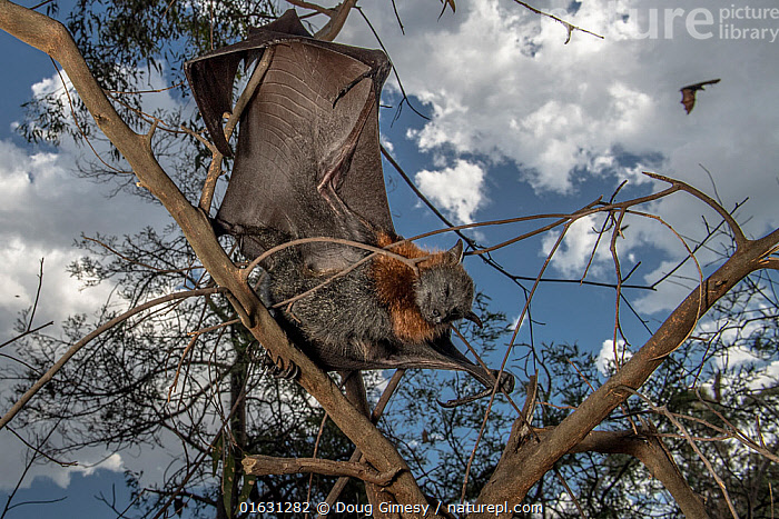 Grey-headed Flying-fox (Pteropus poliocephalus) hanging dead in tree having succumbed to heat stress (like hundreds of others) on a very hot summer Melbourne day. Yarra Bend Park, Kew, Victoria, Australia. January. Cropped., Animal,Wildlife,Vertebrate,Mammal,Bat,Mega bat,Flying fox,Grey headed flying fox,Animalia,Animal,Wildlife,Vertebrate,Mammalia,Mammal,Chiroptera,Bat,Pteropodidae,Mega bat,Megabat,Megachiroptera,Pteropus,Flying fox,Pteropus poliocephalus,Grey headed flying fox,Dead,Temperature,Hot,Australasia,Australia,Victoria,Environment,Environmental Issues,Global Warming,Greenhouse Effect,Death,Climate change,Endangered species,threatened,Vulnerable, Doug Gimesy