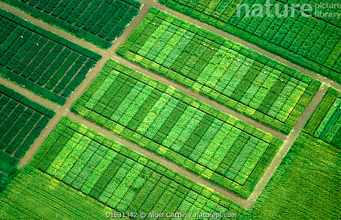 Aerial view of Cereal crop variety trials plots to test differences between varieties such as yield and disease resistance., Plant,Vascular plant,Flowering plant,Monocot,Grass,Barley,Wheat,Plantae,Plant,Tracheophyta,Vascular plant,Magnoliopsida,Flowering plant,Angiosperm,Seed plant,Spermatophyte,Spermatophytina,Angiospermae,Poales,Monocot,Monocotyledon,Lilianae,Poaceae,Grass,True grass,Gramineae,Hordeum,Barley,Hordeum vulgare,Cereal barley,Common barley,Two rowed barley,Triticum,Wheat,Triticum aestivum,Common wheat,Bread wheat,Contrasts,Order,Ordered,Organized,System,Systematic,Research,Researching,Variation,Colour,Green,Shape,Geometric,Line,Lines,Rectangle,Oblong,Oblongs,Rectangles,Rectangular,Crops,Produce,Cultivated,Path,Agriculture,Science,Horticulture,Breeding,, Nigel Cattlin