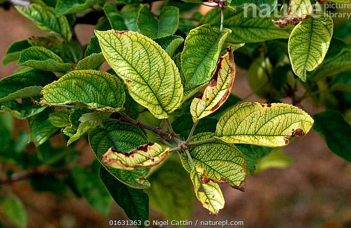 Apple (Malus domestica) tree leaves with interveinal chlorosis, symptom of iron deficiency.  ,  Plant,Vascular plant,Flowering plant,Rosid,Apple,Cultivated apple tree,Plantae,Plant,Tracheophyta,Vascular plant,Magnoliopsida,Flowering plant,Angiosperm,Seed plant,Spermatophyte,Spermatophytina,Angiospermae,Rosales,Rosid,Dicot,Dicotyledon,Rosanae,Rosaceae,Malus,Apple,Apple tree,Malus domestica,Cultivated apple tree,Pyrus malus var. mitis,Malus sylvestris orientalis,Damaged,Colour,Green,Crops,Produce,Cultivated,Chlorophyll,Chlorophylls,Leaf,Foliage,Agriculture,Edible,Fruit,Fruits,Tree,Trees  ,  Nigel Cattlin