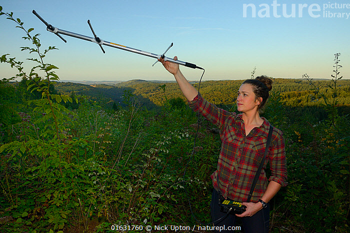 Cat McNicol, Project manager of the Forest of Dean and River Wye Pine Marten Project, radiotracking a recently released Pine marten (Martes martes) at dusk, the Forest of Dean, Gloucestershire, UK, September 2019. Model released., Habitat,Surveying,Survey,Radio-tracking,Tracking,Releases,Release,England,English,Reintroductions,Reintroduced,British,Mammals,Vertebrates,United Kingdom,Europe,Woods,Woodland,Forest,European,Carnivores,Carnivora,European Pine Marten,Mustelidae,Mustelids,Martens,People,Woman,Women,Researcher,Autumn,,Animal,Wildlife,Vertebrate,Mammal,Carnivore,Mustelid,Marten,European Pine Martin,Animalia,Animal,Wildlife,Vertebrate,Mammalia,Mammal,Carnivora,Carnivore,Mustelidae,Mustelid,Martes,Marten,Martes martes,European Pine Martin,Pine Marten,People,Woman,Europe,Western Europe,UK,Great Britain,England,Gloucestershire,Equipment,Conservation,Wildlife conservation,Conservation equipment,Radio trackers,Reintroduction,Reintroduced,Translocation,Translocating,, Nick Upton