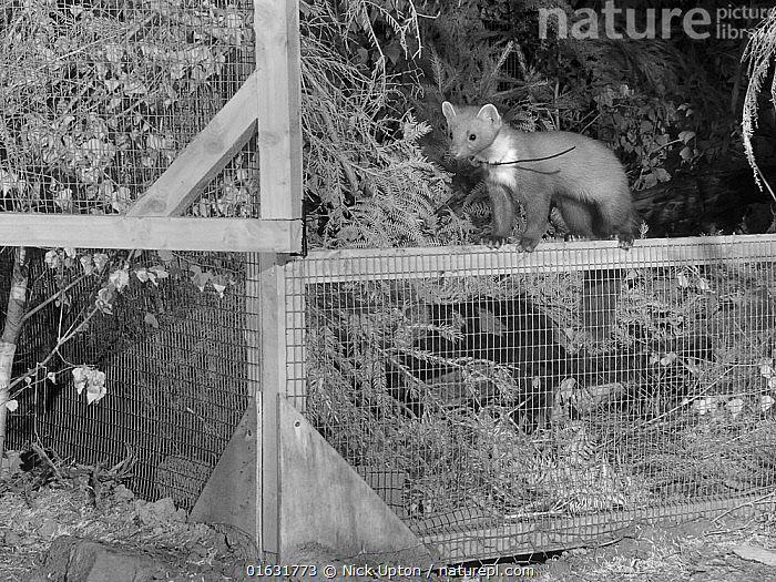 Radio-collared Male Pine Marten (Martes martes) emerging from a temporary soft release cage after dark during the Forest of Dean and River Wye Pine Marten Project, the Forest of Dean, Gloucestershire, UK, September 2019. Captured with a camera trap and infra-red light., English,England,Monochrome,Black and White,Infrared,Nocturnal,Night,Males,Conservation,Reintroductions,Reintroduced,British,Mammals,Vertebrates,United Kingdom,Europe,Woods,Woodland,Forest,European,Carnivores,Carnivora,European Pine Marten,Mustelidae,Mustelids,Martens,Science,Studying,Autumn,Cages,Enclosures,Monitoring,Photography,Camera traps,Camera trapping,Releases,,Animal,Wildlife,Vertebrate,Mammal,Carnivore,Mustelid,Marten,European Pine Martin,Animalia,Animal,Wildlife,Vertebrate,Mammalia,Mammal,Carnivora,Carnivore,Mustelidae,Mustelid,Martes,Marten,Martes martes,European Pine Martin,Pine Marten,Releasing,Europe,Western Europe,UK,Great Britain,England,Gloucestershire,B/W,Monochromatic,Lighting Technique,Night,Conservation,Wildlife conservation,Reintroduction,Reintroduced,Enclosure,Translocation,Translocating,, Nick Upton