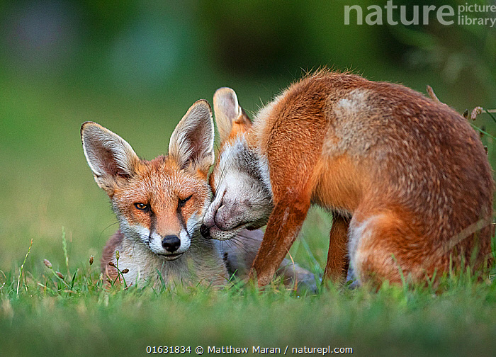 Red fox (Vulpes vulpes) dog interacting with a vixen in an urban garden. North London, UK. July., Animal,Wildlife,Vertebrate,Mammal,Carnivore,Canid,True fox,Red fox,Animalia,Animal,Wildlife,Vertebrate,Mammalia,Mammal,Carnivora,Carnivore,Canidae,Canid,Vulpes,True fox,Vulpini,Caninae,Vulpes vulpes,Red fox,Intimacy,Closeness,Intimate,Two,Affectionate,Affection,Facial Expression,Winking,Wink,Winks,Europe,Western Europe,UK,Great Britain,England,London,Greater London,Female animal,Vixen,Vixens,Male Animal,Garden,Summer,Animal Behaviour,Male female pair,Behaviour,Direct Gaze,Behavioural,, Matthew Maran