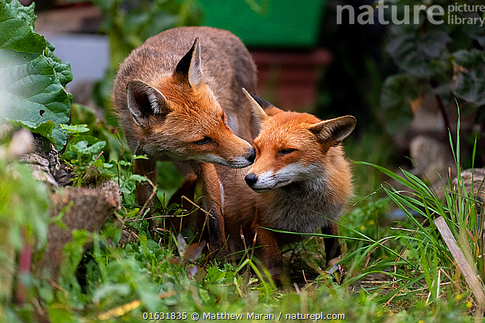 Red fox (Vulpes vulpes) dog interacting with a vixen in an urban garden. North London, UK. June., Animal,Wildlife,Vertebrate,Mammal,Carnivore,Canid,True fox,Red fox,Animalia,Animal,Wildlife,Vertebrate,Mammalia,Mammal,Carnivora,Carnivore,Canidae,Canid,Vulpes,True fox,Vulpini,Caninae,Vulpes vulpes,Red fox,Intimacy,Closeness,Intimate,Two,Affectionate,Affection,Europe,Western Europe,UK,Great Britain,England,London,Greater London,Female animal,Vixen,Vixens,Male Animal,Garden,Summer,Animal Behaviour,Male female pair,Behaviour,Behavioural,, Matthew Maran