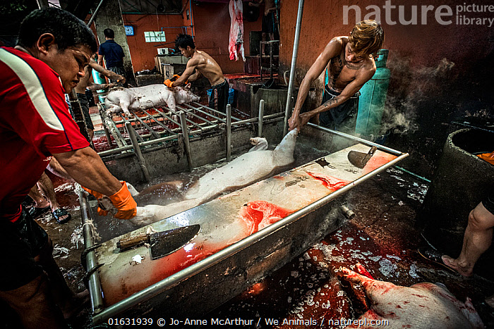 A pig is dropped into a bath of boiling water on the kill floor of a Thai slaughterhouse. Thailand. February 2019.  ,  Horrific,People,Man,Gruesome,Asia,South East Asia,Thailand,Animal,Building,Industrial Building,Slaughterhouse,Abattoir,Abattoirs,Abbatoir,Abbatoirs,Abbattoir,Abbattoirs,Slaughterhouses,Livestock,Domestic animal,Death,Domestic Pig,Domesticated,Sus scrofa domestica,Mammal,Horrific,  ,  Jo-Anne McArthur / We Animals