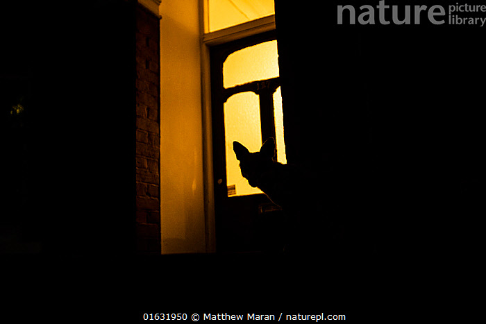 Red fox (Vulpes Vulpes) silhouetted in door to a house, North London, England, UK. June., Animal,Wildlife,Vertebrate,Mammal,Carnivore,Canid,True fox,Red fox,Animalia,Animal,Wildlife,Vertebrate,Mammalia,Mammal,Carnivora,Carnivore,Canidae,Canid,Vulpes,True fox,Vulpini,Caninae,Vulpes vulpes,Red fox,Europe,Western Europe,UK,Great Britain,England,London,Greater London,Back Lit,Artifical light,Electric Light,Neighborhood,Neighborhoods,Neighbourhood,Neighbourhoods,Suburb,Suburban,Suburbia,Suburbs,City,Building,Residential Structure,House,Houses,Entrance,Doorway,Door,Doors,Silhouette,, Matthew Maran