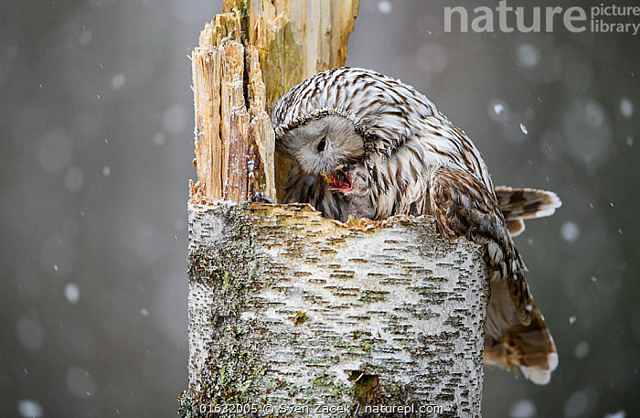 Ural owl (Strix uralensis) female on the nest feeding a very young nestling in snowfall, Tartumaa county, Southern Estonia. May., Animal,Wildlife,Vertebrate,Bird,Birds,Owl,Ural owl,Animalia,Animal,Wildlife,Vertebrate,Aves,Bird,Birds,Strigiformes,Owl,Bird of prey,Strigidae,Striginae,Strix,Strix uralensis,Ural owl,Ural wood owl,Europe,Eastern Europe,East Europe,Baltic Countries,Estonia,Young Animal,Baby,Chick,Feeding,Nestling,, Sven  Zacek