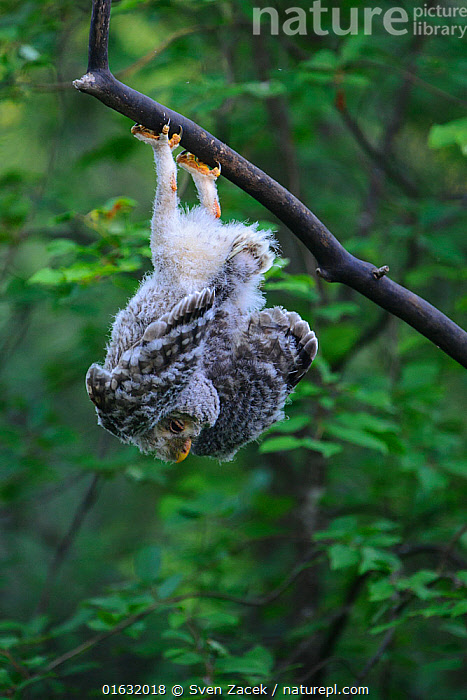 Ural owl (Strix uralensis) fledgling hanging upside down on branch, Tartumaa county, Southern Estonia. June, Animal,Wildlife,Vertebrate,Bird,Birds,Owl,Ural owl,Animalia,Animal,Wildlife,Vertebrate,Aves,Bird,Birds,Strigiformes,Owl,Bird of prey,Strigidae,Striginae,Strix,Strix uralensis,Ural owl,Ural wood owl,Humorous,Europe,Eastern Europe,East Europe,Baltic Countries,Estonia,Young Animal,Baby,Chick,Fledgling,, Sven  Zacek