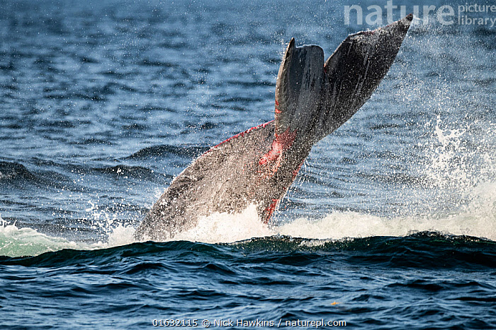 North Atlantic right whale (Eubalaena glacialis) struggling to free itself from entanglement in fishing gear, showing wounds on tail fluke, Gulf of Saint Lawrence, Canada. August.  ,  Animal,Animalia,Atlantic Ocean,Balaenidae,Baleen whale,Canada,Cetacea,cetacean,Distress,Distressed,Environment,Environmental Damage,Environmental Issues,Eubalaena,Eubalaena glacialis,Fishing,Fishing Net,Fishing Nets,Fluke,Freedom,Male Animal,Mammal,Mammalia,Marine,Marine Pollution,Mysteceti,Net,Nets,Netting,North America,Ocean,Right whales,Saltwater,Surface,Tail,Temperate,Vertebrate,Water,Wildlife  ,  Nick Hawkins