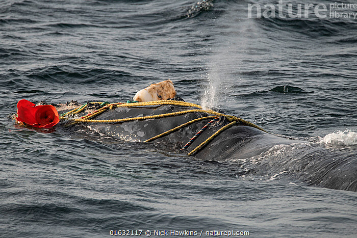 North Atlantic right whale (Eubalaena glacialis) male entangled in fishing gear. The whale was distressed and struggling to breathe through the ropes and weight of the gear, however he was later able to free himself, Gulf of Saint Lawrence, Canada. August.  ,  Animal,Animal Behaviour,Animalia,Atlantic Ocean,Balaenidae,Baleen whale,Behaviour,Behavioural,Blow,Blowing,Canada,Cetacea,cetacean,Distress,Distressed,Environment,Environmental Damage,Environmental Issues,Eubalaena,Eubalaena glacialis,Fishing,Fishing Net,Fishing Nets,Male Animal,Mammal,Mammalia,Marine,Marine Pollution,Mysteceti,Net,Nets,Netting,North America,Ocean,Right whales,Saltwater,Surface,Temperate,Trapped,Vertebrate,Water,Wildlife  ,  Nick Hawkins