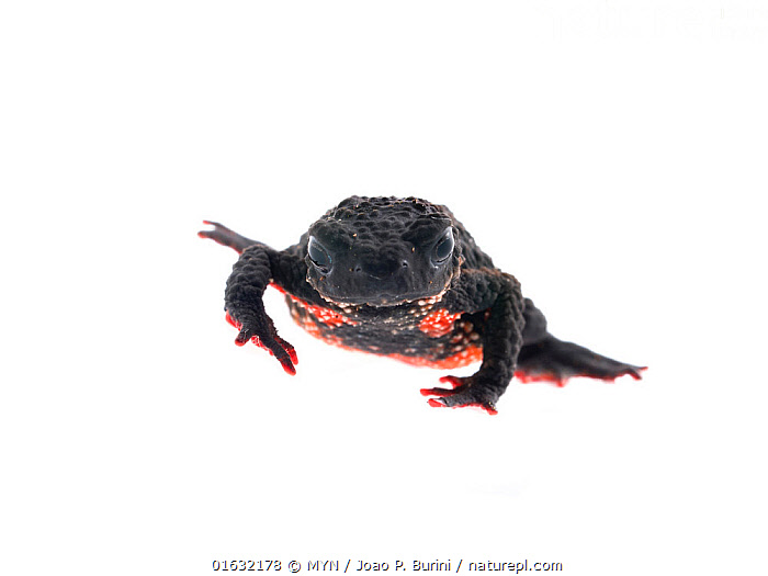 Maldonada redbelly toad (Melanophryniscus moreirae) Atlantic forest  Itatiaia National Park, Brazil March 2018 Meetyourneighbours.net project.  ,  Animal,Wildlife,Vertebrate,Frog,Toad,Maldonada redbelly toad,Animalia,Animal,Wildlife,Vertebrate,Amphibia,Anura,Frog,Bufonidae,Toad,Melanophryniscus,Latin America,South America,Brazil,Cutout,Plain Background,White Background,MYN,Meet your Neighbours,Amphibian,Melanophryniscus moreirae,Maldonada redbelly toad,  ,  MYN  / Joao P. Burini