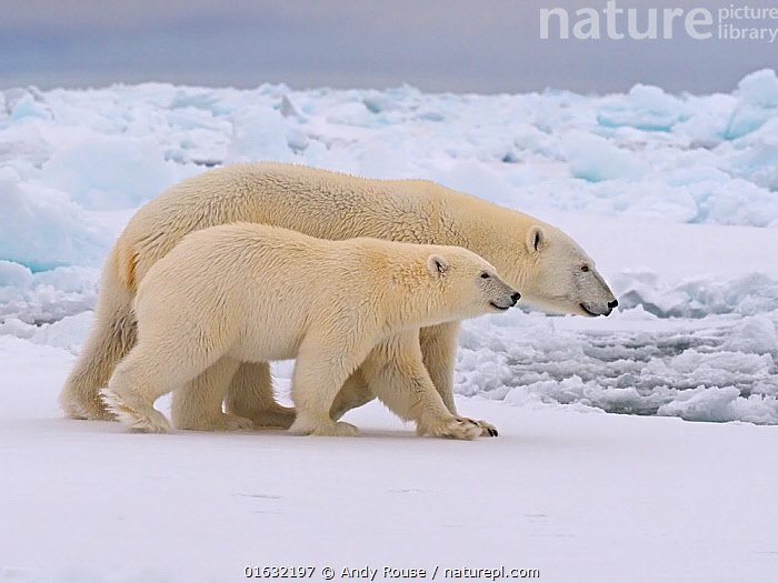 Polar Bear (Ursus maritimus) mother and yearling cub, Svalbard, Norway. October  ,  Animal,Wildlife,Vertebrate,Mammal,Carnivore,Bear,Polar bear,Arctic,Animalia,Animal,Wildlife,Vertebrate,Mammalia,Mammal,Carnivora,Carnivore,Ursidae,Bear,Ursus,Ursus maritimus,Polar bear,Ursus labradorensis,Ursus marinus,Ursus polaris,Europe,Northern Europe,North Europe,Nordic Countries,Scandinavia,Norway,Svalbard,Young Animal,Baby,Baby Mammal,Cub,Family,Mother baby,Mother,Parent baby,Arctic,Endangered species,threatened,Vulnerable  ,  Andy Rouse