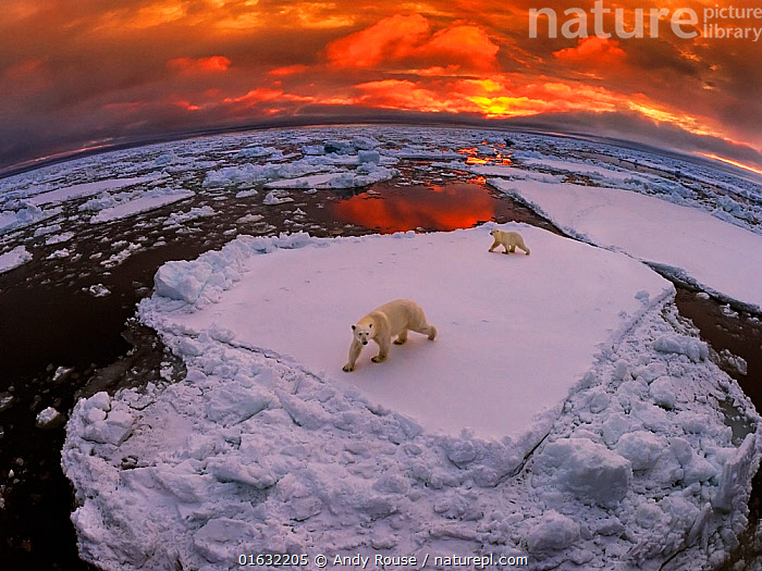 Polar bear (Ursus maritimus) mother and yearling cub on pack ice at sunset, Svalbard, Norway. October  ,  Animal,Wildlife,Vertebrate,Mammal,Carnivore,Bear,Polar bear,Arctic,Animalia,Animal,Wildlife,Vertebrate,Mammalia,Mammal,Carnivora,Carnivore,Ursidae,Bear,Ursus,Ursus maritimus,Polar bear,Ursus labradorensis,Ursus marinus,Ursus polaris,Europe,Northern Europe,North Europe,Nordic Countries,Scandinavia,Norway,Svalbard,Young Animal,Baby,Baby Mammal,Cub,Sunset,Setting Sun,Sunsets,Family,Mother baby,Mother,Dusk,Parent baby,Arctic,Endangered species,threatened,Vulnerable  ,  Andy Rouse