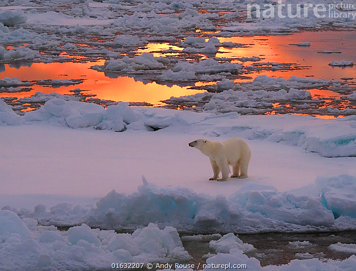 Polar bear (Ursus maritimus) standing on pack ice at sunset. Svalbard, Norway., Animal,Wildlife,Vertebrate,Mammal,Carnivore,Bear,Polar bear,Arctic,Animalia,Animal,Wildlife,Vertebrate,Mammalia,Mammal,Carnivora,Carnivore,Ursidae,Bear,Ursus,Ursus maritimus,Polar bear,Ursus labradorensis,Ursus marinus,Ursus polaris,Standing,Frozen,Europe,Northern Europe,North Europe,Nordic Countries,Scandinavia,Norway,Svalbard,Ice,Pack Ice,Ocean,Arctic Ocean,Marine,Water,Saltwater,Sea,Sea ice,Arctic,Endangered species,threatened,Vulnerable, Andy Rouse