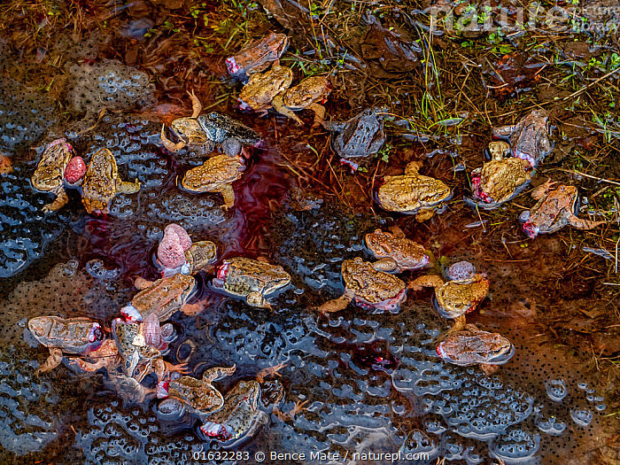 Dying Common frogs (Rana temporaria) with their legs removed for food, left to die in their breeding pool surrounded by frogspawn. Covasna, Romania. Highly commended in the Wildlife Photojournalism Category of the Wildlife Photographer of the Year Awards 2019.  ,  Horrific,Horror,Gruesome,Group,Large Group,Europe,Eastern Europe,East Europe,Romania,Animal,Animal Eggs,Egg,Eggs,Spawn,Freshwater,Water,Death,Dying,Competition winner,Pool,Photography award,Horrific,,,Competition Winners 2019,Competition winner,Award,Awards,Winners,,,competition winners 2019,  ,  Bence Mate