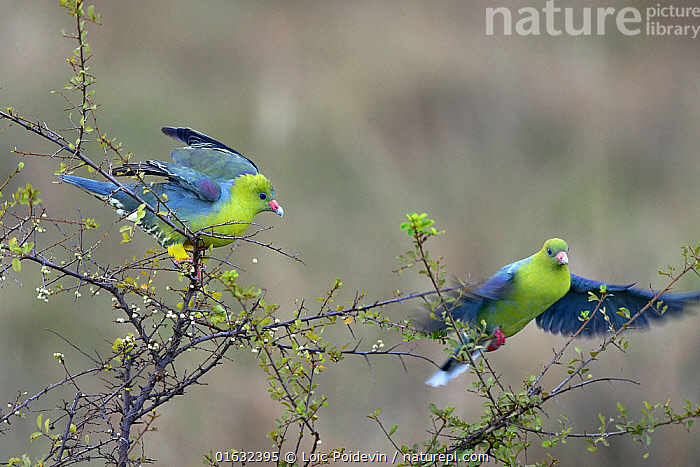 African Green Pigeons (Treron calvus) interacting in a tree, Masai Mara, Kenya. March.  ,  Animal,Wildlife,Vertebrate,Bird,Birds,Dove,Green pigeon,African green pigeon,Animalia,Animal,Wildlife,Vertebrate,Aves,Bird,Birds,Columbiformes,Dove,Pigeon,Columbidae,Treron,Green pigeon,Treron calva,African green pigeon,Green fruit pigeon,African fruit pigeon,Treron calvus,Flying,Two,Africa,East Africa,Kenya,  ,  Loic Poidevin