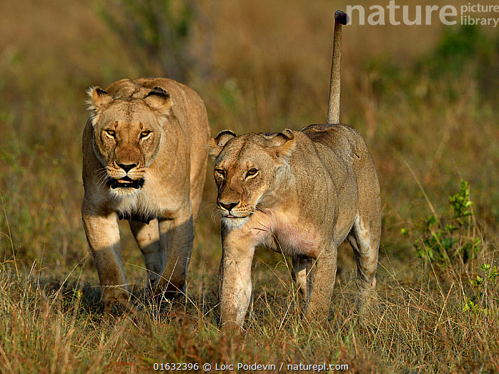 Young Lioness (Panthera leo) walking in grass with an adult one behind her, Masai Mara, Kenya, March.  ,  Animal,Wildlife,Vertebrate,Mammal,Carnivore,Cat,Big cat,Lion,Animalia,Animal,Wildlife,Vertebrate,Mammalia,Mammal,Carnivora,Carnivore,Felidae,Cat,Panthera,Big cat,Panthera leo,Two,Africa,East Africa,Kenya,Female animal,Lioness,Lionesses,Savanna,Lion,  ,  Loic Poidevin