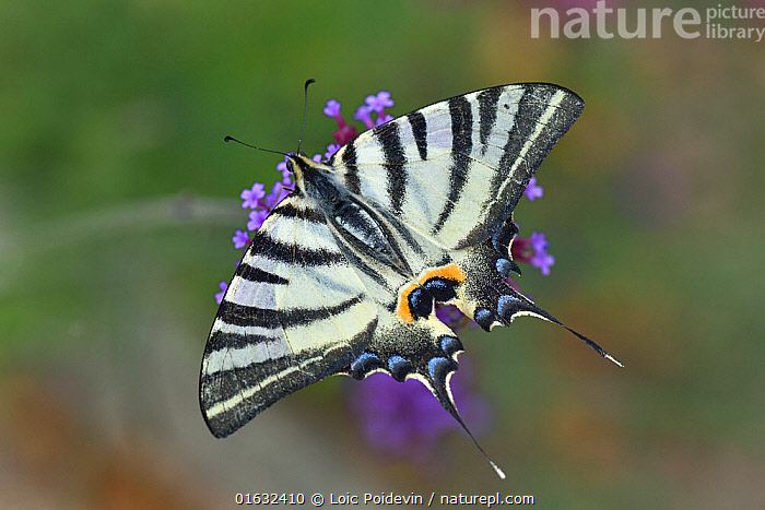 Scarce Swallowtail butterfly (Iphiclides podalirius) on Buenos Aires Verbena (Verbena bonariensis) flower, Vendee, France. July.  ,  Plant,Vascular plant,Flowering plant,Asterid,Verbena family,Verbena,Animal,Wildlife,Arthropod,Insect,Swallowtail butterfly,Scarce swallowtail,Argentinian vervain,Plantae,Plant,Tracheophyta,Vascular plant,Magnoliopsida,Flowering plant,Angiosperm,Seed plant,Spermatophyte,Spermatophytina,Angiospermae,Lamiales,Asterid,Dicot,Dicotyledon,Asteranae,Verbenaceae,Verbena family,Vervain family,Verbena,Vervain,Animalia,Animal,Wildlife,Hexapoda,Arthropod,Invertebrate,Hexapod,Arthropoda,Insecta,Insect,Lepidoptera,Lepidopterans,Papilionidae,Swallowtail butterfly,Papilionid,Butterfly,Iphiclides,Iphiclides podalirius,Scarce swallowtail,Papilio podalirius,Papilio virgatus,Europe,Western Europe,France,Pays de la Loire,High Angle View,Wing,Summer,Elevated view,Wings spread,Wingspan,Dorsal view,Vendee,Verbena bonariensis,Argentinian vervain,  ,  Loic Poidevin