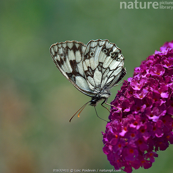 Marbled White butterfly (Melanargia galathea) drinking from Buddleia flowers, Vendee, France. July.  ,  Plant,Vascular plant,Flowering plant,Asterid,Figwort,Animal,Wildlife,Arthropod,Insect,Brushfooted butterfly,Marbled white,Buddleia,Plantae,Plant,Tracheophyta,Vascular plant,Magnoliopsida,Flowering plant,Angiosperm,Seed plant,Spermatophyte,Spermatophytina,Angiospermae,Lamiales,Asterid,Dicot,Dicotyledon,Asteranae,Scrophulariaceae,Figwort,Scrofulaires,Animalia,Animal,Wildlife,Hexapoda,Arthropod,Invertebrate,Hexapod,Arthropoda,Insecta,Insect,Lepidoptera,Lepidopterans,Nymphalidae,Brushfooted butterfly,Fourfooted butterfly,Nymphalid,Butterfly,Papilionoidea,Melanargia,Marbled white,Satyrine,Satyrid,Brown,Satyrinae,Melanargia galathea,Papilio galathea,Europe,Western Europe,France,Pays de la Loire,Cutout,Side View,Summer,Drinking,Feeding,Buddleja,Buddleia,Butterfly bush,Vendee,  ,  Loic Poidevin