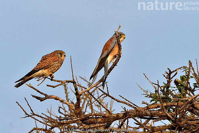 Lesser Kestrel (Falco naumanni) pair on branch, Masai Mara, Kenya. March.  ,  Animal,Wildlife,Vertebrate,Bird,Birds,Birds of prey,Falcon,Lesser kestrel,Animalia,Animal,Wildlife,Vertebrate,Aves,Bird,Birds,Falconiformes,Birds of prey,Raptor,Falconidae,Falco,Falcon,Falco naumanni,Lesser kestrel,Kestrels,Two,Africa,East Africa,Kenya,Male female pair,Sexual dimorphism,  ,  Loic Poidevin