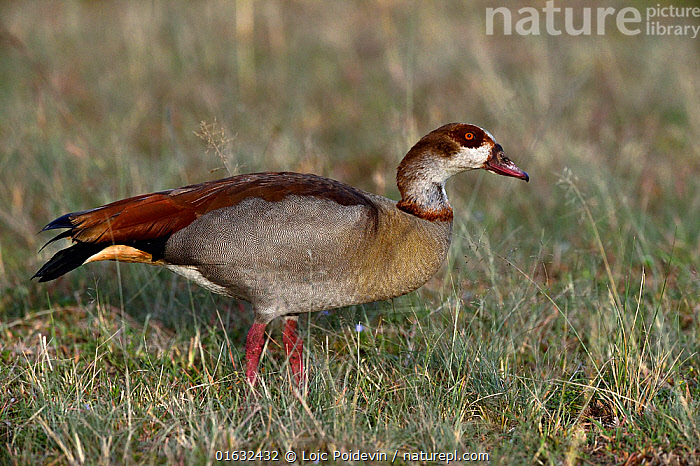 Egyptian Goose (Alopochen aegyptiaca) foraging in grass, Masai Mara, Kenya. March.  ,  Animal,Wildlife,Vertebrate,Bird,Birds,Water fowl,Waterfowl,Tadorninae,Egyptian goose,Animalia,Animal,Wildlife,Vertebrate,Aves,Bird,Birds,Anseriformes,Water fowl,Galloanserans,Waterfowl,Anatidae,Alopochen,Tadorninae,Alopochen aegyptiacus,Egyptian goose,Alopochen aegyptiaca,Foraging,Africa,East Africa,Kenya,Profile,Side View,Wildfowl,Goose,Geese  ,  Loic Poidevin