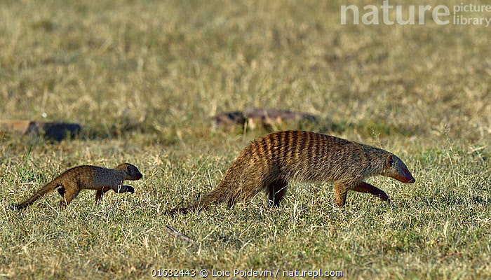 Banded mongoose (Mungos mungo) mother walking with young, Masai Mara, Kenya. March.  ,  Animal,Wildlife,Vertebrate,Mammal,Carnivore,Mongoose,Mongooses,Banded mongoose,Animalia,Animal,Wildlife,Vertebrate,Mammalia,Mammal,Carnivora,Carnivore,Herpestidae,Mongoose,Mungo,Mongooses,Mungos mungo,Banded mongoose,Walking,Africa,East Africa,Kenya,Profile,Side View,Young Animal,Baby,Baby Mammal,Pup,Pups,Female animal,Family,Mother baby,Mother,Parent baby,Moving,Movement,  ,  Loic Poidevin