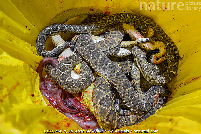 Beheaded rattlesnake bodies in a bucket, annual Rattlesnake Roundup, Sweetwater, Texas, USA., Animal,Wildlife,Vertebrate,Reptile,Squamate,Viper,Rattlesnake,American,Horrific,Animalia,Animal,Wildlife,Vertebrate,Reptilia,Reptile,Squamata,Squamate,Viperidae,Viper,Viperid snakes,Snake,Crotalus,Rattlesnake,Rattler,Pitviper,Pit viper,Cruelty,Gruesome,Dead,Dead Animal,Carcass,North America,USA,Southern USA,Texas,Death,Animal Cruelty,Event,American,United States of America,Horrific,Venomous, Jo-Anne McArthur / We Animals