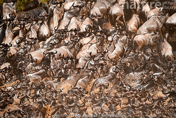 Eastern White-bearded Wildebeest herd (Connochaetes taurinus) climbing bank after crossing river. Masai Mara National Reserve, Kenya., Animal,Wildlife,Vertebrate,Mammal,Bovid,Wildebeest,Blue Wildebeest,Animalia,Animal,Wildlife,Vertebrate,Mammalia,Mammal,Artiodactyla,Even-toed ungulates,Bovidae,Bovid,ruminantia,Ruminant,Connochaetes,Wildebeest,Connochaetes taurinus,Blue Wildebeest,Common Wildebeest,Migration,Group Of Animals,Herd,Group,Africa,East Africa,Kenya,Riverbank,Flowing Water,River,Freshwater,Water,Animal Behaviour,Behaviour,Behavioural,, Eric Baccega