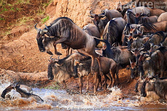 Eastern White-bearded Wildebeest (Connochaetes taurinus) jumping into Mara river on migration, Masai Mara National Reserve, Kenya., Animal,Wildlife,Vertebrate,Mammal,Bovid,Wildebeest,Blue Wildebeest,Animalia,Animal,Wildlife,Vertebrate,Mammalia,Mammal,Artiodactyla,Even-toed ungulates,Bovidae,Bovid,ruminantia,Ruminant,Connochaetes,Wildebeest,Connochaetes taurinus,Blue Wildebeest,Common Wildebeest,Migration,Jumping,Group Of Animals,Herd,Group,Africa,East Africa,Kenya,Flowing Water,River,Freshwater,Water,Animal Behaviour,Behaviour,Moving,Behavioural,Movement,, Eric Baccega