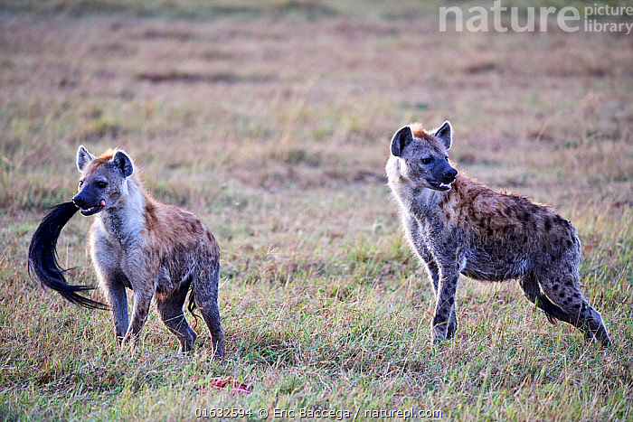 Two Spotted hyaena (Crocuta crocuta) in savanna and one with a wildebeest tail in its mouth. Masai Mara National Reserve, Kenya.  ,  Animal,Wildlife,Vertebrate,Mammal,Carnivore,Hyaena,Spotted hyaenas,Spotted hyaena,Animalia,Animal,Wildlife,Vertebrate,Mammalia,Mammal,Carnivora,Carnivore,Hyaenidae,Hyaena,Hyena,Crocuta,Spotted hyaenas,Crocuta crocuta,Spotted hyaena,Crocuta capensis,Crocuta cuvieri,Crocuta fisi,Africa,East Africa,Kenya,Feeding,Scavenging,Reserve,Protected area,National Park,  ,  Eric Baccega
