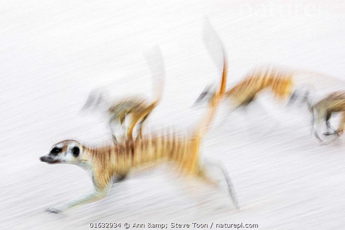 Meerkats (Suricata suricatta) on the move, Kgalagadi Transfrontier Park, Northern Cape, South Africa, January. Second place in the Mammals Category of the GDT European Nature Photographer of the Year Competition 2019., Animal,Wildlife,Vertebrate,Mammal,Carnivore,Mongoose,Meerkat,Animalia,Animal,Wildlife,Vertebrate,Mammalia,Mammal,Carnivora,Carnivore,Herpestidae,Mongoose,Suricata,Meerkat,Suricata suricatta,Slender-tailed Meerkat,Suricate,Running,Africa,Southern Africa,South Africa,Photographic Effect,Blurred Motion,Blurred Movement,Reserve,Arty shots,Competition winner,Protected area,National Park,South African,Moving,Photography award,Movement,,,Competition Winners 2019,Competition winner,Award,Awards,Winners,,,competition winners 2019,, Ann  & Steve Toon