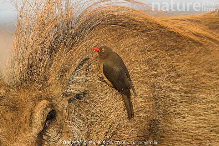 Redbilled oxpecker (Buphagus erythrorhynchus) searching for insects on Warthog (Phacochoerus africanus), Zimanga game reserve, KwaZulu-Natal, South Africa.  ,  Animal,Wildlife,Vertebrate,Bird,Birds,Songbird,Oxpecker,Red billed oxpecker,Mammal,Pig,Wart hog,Common Warthog,Animalia,Animal,Wildlife,Vertebrate,Aves,Bird,Birds,Passeriformes,Songbird,Passerine,Buphagidae,Oxpecker,Buphagus,Buphagus erythrorhynchus,Red billed oxpecker,Tanagra erythrorhyncha,Mammalia,Mammal,Artiodactyla,Even-toed ungulates,Suidae,Pig,Phacochoerus,Wart hog,Africa,Southern Africa,South Africa,Reserve,Warthog,Warthogs,Protected area,Common Warthog,Eritrean Warthog,South African,KwaZulu-Natal Province,Zimanga Game Reserve,  ,  Ann  & Steve Toon
