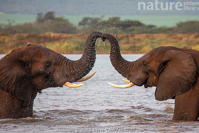 RF - African elephants (Loxodonta africana) in water, trunks touching, Zimanga game reserve, South Africa. (This image may be licensed either as rights managed or royalty free.), Animal,Wildlife,Vertebrate,Mammal,Elephant,African elephants,African elephant,Animalia,Animal,Wildlife,Vertebrate,Mammalia,Mammal,Proboscidea,Elephantidae,Elephant,Loxodonta,African elephants,Loxodonta africana,African elephant,Symmetry,Two,Africa,Southern Africa,South Africa,Communication,Water,Reserve,Protected area,South African,KwaZulu-Natal Province,Zimanga Game Reserve,RF,Royalty free,RF5,Endangered species,threatened,Endangered, Ann  & Steve Toon