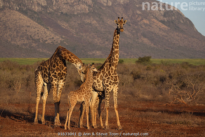 Giraffes (Giraffa camelopardalis), male with female and baby, Zimanga game reserve, KwaZulu-Natal, South Africa.  ,  Animal,Wildlife,Vertebrate,Mammal,Giraffid,Giraffe,Animalia,Animal,Wildlife,Vertebrate,Mammalia,Mammal,Artiodactyla,Even-toed ungulates,Giraffidae,Giraffid,Ruminant,Giraffa,Giraffe,Giraffa camelopardalis,Africa,Southern Africa,South Africa,Male Animal,Habitat,Reserve,Family,Mother baby,Mother,Protected area,South African,Parent baby,KwaZulu-Natal Province,Zimanga Game Reserve,  ,  Ann  & Steve Toon