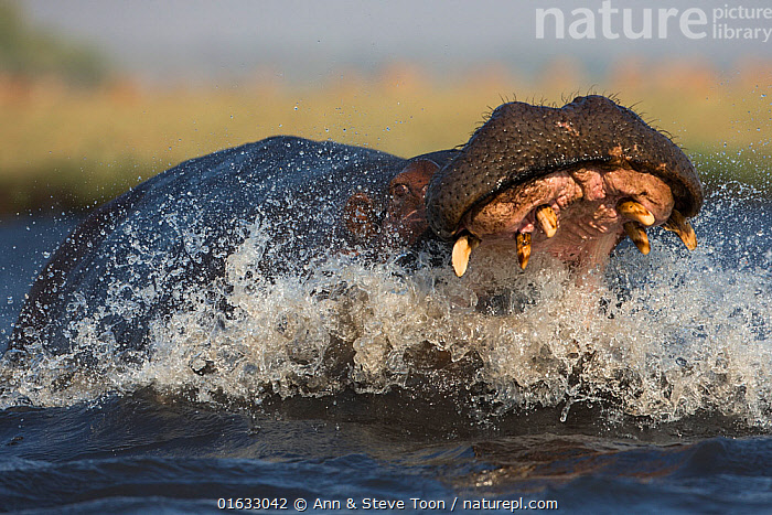 Hippo (Hippopotamus amphibius) charging in aggression with open mouth. Chobe River, Chobe National park, Botswana., Animal,Wildlife,Vertebrate,Mammal,Hippopotomus,Hippotomuses,Animalia,Animal,Wildlife,Vertebrate,Mammalia,Mammal,Artiodactyla,Even-toed ungulates,Hippotamidae,Hippopotomus,Hippo,Hippopotamus,Hippotomuses,Hippotomi,Hippos,Hippopotamus amphibius,Splashing,Africa,Southern Africa,Botswana,Mouth,Freshwater,Water Surface,Water,Animal Behaviour,Territorial,Aggression,Reserve,Behaviour,Protected area,National Park,Open Mouth,Chobe National Park,Behavioural,Territories,Territory,, Ann  & Steve Toon