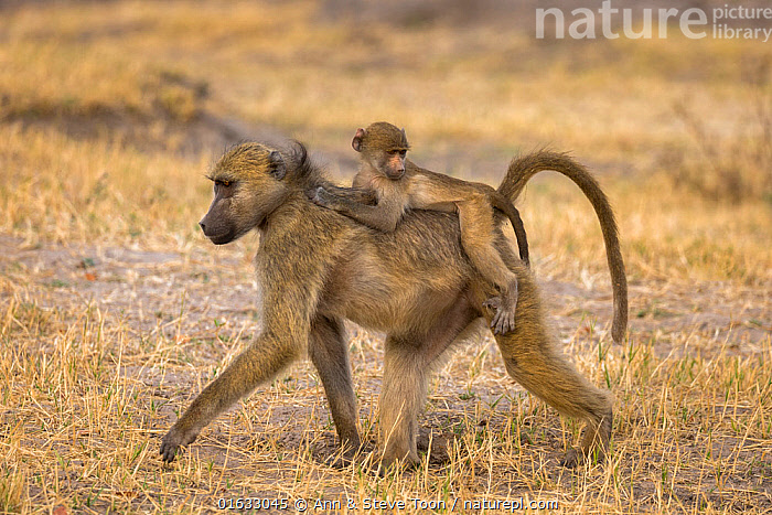 RF - Chacma baboons (Papio ursinus) with baby on back, Chobe National Park, Botswana, May (This image may be licensed either as rights managed or royalty free.)  ,  Animal,Wildlife,Vertebrate,Mammal,Monkey,Baboon,Chacma baboon,Animalia,Animal,Wildlife,Vertebrate,Mammalia,Mammal,Primate,Primates,Cercopithecidae,Monkey,Old World Monkeys,Papio,Baboon,Papionini,Papio ursinus,Chacma baboon,Walking,Africa,Southern Africa,Botswana,Family,Mother baby,Mother,Parent baby,Moving,Chobe National Park,RF,Royalty free,Movement,RF5,  ,  Ann  & Steve Toon