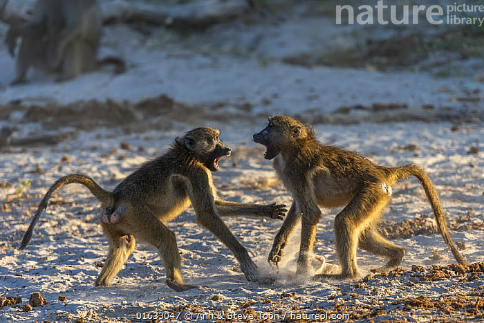 Chacma baboons (Papio ursinus) squabbling, Chobe National Park, Botswana, May  ,  Animal,Wildlife,Vertebrate,Mammal,Monkey,Baboon,Chacma baboon,Animalia,Animal,Wildlife,Vertebrate,Mammalia,Mammal,Primate,Primates,Cercopithecidae,Monkey,Old World Monkeys,Papio,Baboon,Papionini,Papio ursinus,Chacma baboon,Africa,Southern Africa,Botswana,Animal Behaviour,Aggression,Fighting,Behaviour,Chobe National Park,Behavioural,  ,  Ann  & Steve Toon
