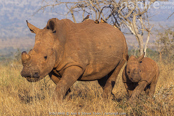 White rhino (Ceratotherium simum) with calf, Zimanga private game reserve, KwaZulu-Natal, South Africa.  ,  Animal,Wildlife,Vertebrate,Mammal,Odd toed ungulate,Rhinoceros,White Rhinoceros,Animalia,Animal,Wildlife,Vertebrate,Mammalia,Mammal,Perissodactyla,Odd toed ungulate,Rhinocerotidae,Rhinoceros,Rhino,Ceratotherium,Ceratotherium simum,Square-lipped Rhinoceros,Africa,Southern Africa,South Africa,Young Animal,Baby,Baby Mammal,Calf,Reserve,Family,Mother baby,Mother,White Rhinoceros,Protected area,South African,Parent baby,KwaZulu-Natal Province,Critically endangered,Endangered species,Threatened  ,  Ann  & Steve Toon
