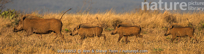Warthog (Phacochoerus africanus) sounder on the move, Zimanga game reserve, KwaZulu-Natal, South Africa.  ,  Animal,Wildlife,Vertebrate,Mammal,Pig,Wart hog,Common Warthog,Animalia,Animal,Wildlife,Vertebrate,Mammalia,Mammal,Artiodactyla,Even-toed ungulates,Suidae,Pig,Phacochoerus,Wart hog,Group Of Animals,Herd,Few,Four,Group,Africa,Southern Africa,South Africa,Reserve,Warthog,Warthogs,Protected area,Common Warthog,Eritrean Warthog,South African,KwaZulu-Natal Province,Zimanga Game Reserve,  ,  Ann  & Steve Toon
