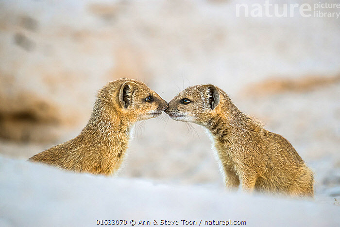 Yellow mongoose (Cynictis penicillata), two pups nose to nose. Kalahari Gemsbok National Park, Kgalagadi Transfrontier National Park, Northern Cape, South Africa., Animal,Wildlife,Vertebrate,Mammal,Carnivore,Mongoose,Yellow mongooses,Yellow mongoose,Animalia,Animal,Wildlife,Vertebrate,Mammalia,Mammal,Carnivora,Carnivore,Herpestidae,Mongoose,Cynictis,Yellow mongooses,Cynictis penicillata,Yellow mongoose,Sibling,Siblings,Love,Face To Face,Two,Africa,Southern Africa,South Africa,Copy Space,Young Animal,Baby,Baby Mammal,Pup,Pups,Reserve,Family,Protected area,National Park,Two animals,Negative space,South African,Northern Cape,Nose to nose,Kalahari Gemsbok National Park,, Ann  & Steve Toon