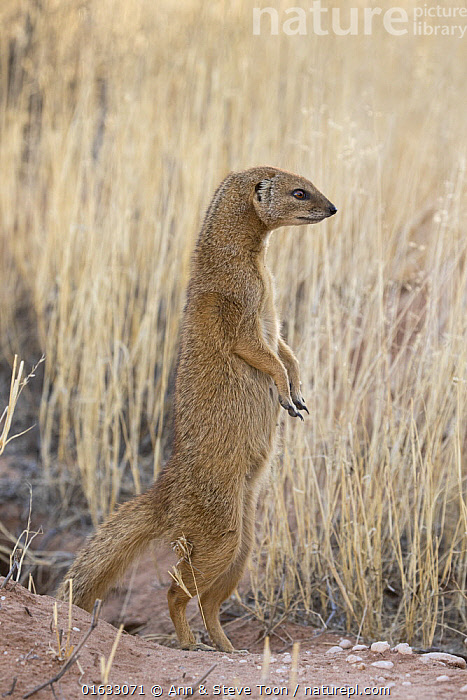 Pregnant yellow mongoose (Cynictis penicillata) standing on hind legs, Kgalagadi Transfrontier National Park, Northern Cape, South Africa, February  ,  Animal,Wildlife,Vertebrate,Mammal,Carnivore,Mongoose,Yellow mongooses,Yellow mongoose,Animalia,Animal,Wildlife,Vertebrate,Mammalia,Mammal,Carnivora,Carnivore,Herpestidae,Mongoose,Cynictis,Yellow mongooses,Cynictis penicillata,Yellow mongoose,Africa,Southern Africa,South Africa,Pregnant,South African,Northern Cape,  ,  Ann  & Steve Toon
