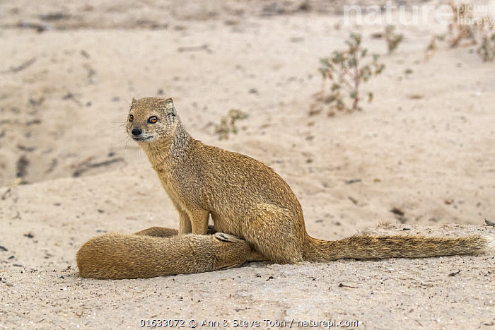 Yellow mongoose (Cynictis penicillata) suckling young, Kgalagadi Transfrontier National Park, Northern Cape, South Africa, February  ,  Animal,Wildlife,Vertebrate,Mammal,Carnivore,Mongoose,Yellow mongooses,Yellow mongoose,Animalia,Animal,Wildlife,Vertebrate,Mammalia,Mammal,Carnivora,Carnivore,Herpestidae,Mongoose,Cynictis,Yellow mongooses,Cynictis penicillata,Yellow mongoose,Africa,Southern Africa,South Africa,Animal Behaviour,Parental behaviour,Suckling,Feeding young,Family,Mother baby,Behaviour,Mother,Parental,South African,Parent baby,Northern Cape,Behavioural,Nursing,  ,  Ann  & Steve Toon