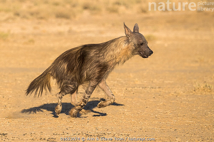 Brown hyaena (Hyaena brunnea), Kgalagadi Transfrontier Park, South Africa.  ,  Animal,Wildlife,Vertebrate,Mammal,Carnivore,Hyaena,Brown hyaena,Brown hyena,Animalia,Animal,Wildlife,Vertebrate,Mammalia,Mammal,Carnivora,Carnivore,Hyaenidae,Hyaena,Hyena,Hyaena brunnea,Brown hyaena,Parahyaena brunnea,Hyaena fusca,Hyaena melampus,Hyaena striata,Hyaena villosa,Running,Africa,Southern Africa,South Africa,Reserve,Protected area,National Park,International Parks,Kgalagadi Transfrontier Park,South African,Moving,Transfrontier Park,Brown hyena,Movement,  ,  Ann  & Steve Toon