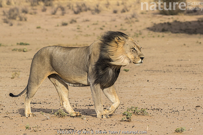 Lion (Panthera leo) male with dark mane, Kgalagadi Transfrontier Park, South Africa.  ,  Animal,Wildlife,Vertebrate,Mammal,Carnivore,Cat,Big cat,Lion,Animalia,Animal,Wildlife,Vertebrate,Mammalia,Mammal,Carnivora,Carnivore,Felidae,Cat,Panthera,Big cat,Panthera leo,Africa,Southern Africa,South Africa,Male Animal,Lion,Protected area,National Park,International Parks,Kgalagadi Transfrontier Park,South African,  ,  Ann  & Steve Toon